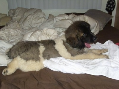 The right side of a thick coated, fluffy, white with brown and black Saint Pyrenees puppy laying across a bed and it is looking to the right. Its mouth is open and its tongue is out.