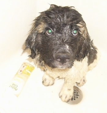 Zeus the Saint Pyrenees puppy at 4 months old getting a bath.