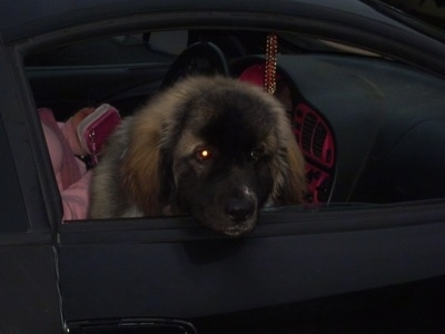 A fluffy, large white with brown and black Saint Pyrenees puppy is sitting in the passenger seat of a vehicle at night with its head out of the window.