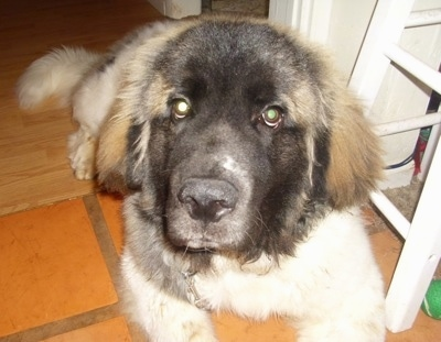 Zeus the Saint Pyrenees puppy at 9 months old.