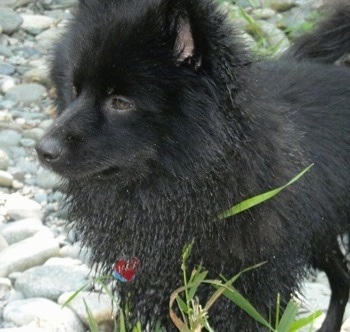 Close up front side view - A wet black Schip-A-Pom dog is standing on rocks and it is looking to the left.