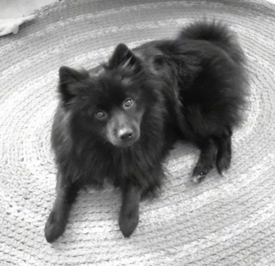 Schipperke Puppies on Jack The Schip A Pom   Pomeranian   Schipperke Hybrid Dog