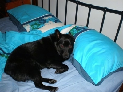 The right side of a black Schipperke dog that is laying on a bed. Its head is on a teal-blue pillow and it is looking forward. Its ears are pinned back.