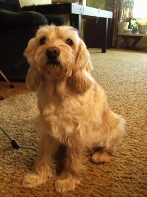 A soft looking, blonde Schnocker dog is sitting on a carpet looking up and forward.