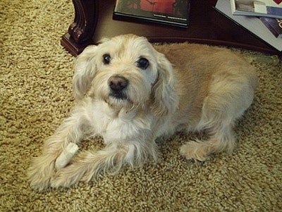 Mak the blonde Schnocker at 10-years-old. Mini Schnauzer / Cocker Spaniel hybrid dog.