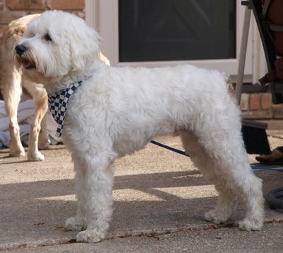 Left Profile - A white Schnoodle dog is standing across a brick porch, it is wearing a blue and white checkered bandana and it is panting. Its coat is soft looking.