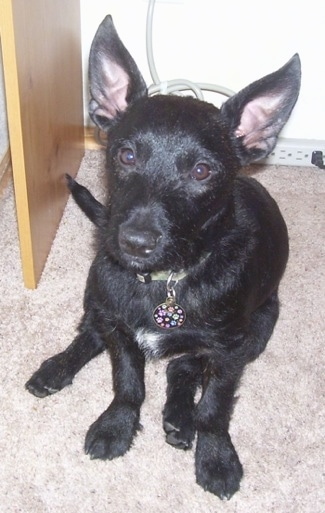 Close up front view - A short haired, black with white Scobo Terrier dog with large perk spock ears sitting on a tan carpet looking up.