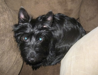 Top down view of a shiny-coated, medium haired, black Scorkie dog that is sitting on a couch looking up. It has perk ears and its eyes are glowing green.