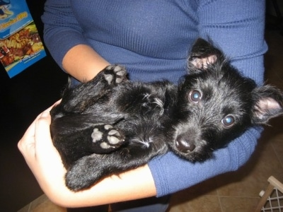 A black Scorkie puppy is laying belly up in the arm of a person in a blue sweater.
