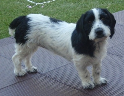 A long bodied, short legged, white with black Scottish Cocker dog standing across a rubber surface with grass behind it looking forward. Its head is tilted to the left.