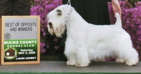 The left side of a white Sealyham Terrier dog that is standing on a floor mat in a show stack. A person is touching its tail to pose it. There is an award placed in front of the dog.