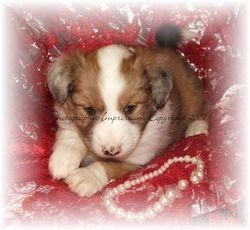 Close up front side view - A brown with white Shel-Aussie puppy is laying on a pillow and it is looking forward. Its body is mostly tan with a white stripe down its forehead to its snout, its chest and tips of its paws.