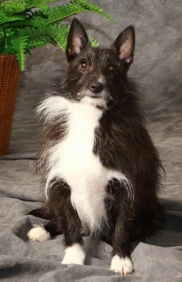 shetland terrier shelestie dog breed information and pictures 1718