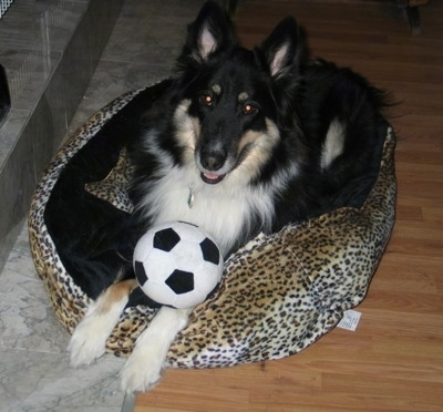 A long-haired, perk-eared, black with tan and white Sheltie Shepherd dog is laying on a dog bed, it is looking up, its mouth is slightly open and there is a soccer ball on its front paws. The dog looks happy.