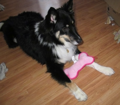 The front right side of a longhaired, perk eared, black with tan and white Sheltie Shepherd is laying on a hardwood floor and it is looking to the right. It is surounded by ripped tissues and dog toys and laying across its front paws is a plush pink bone.