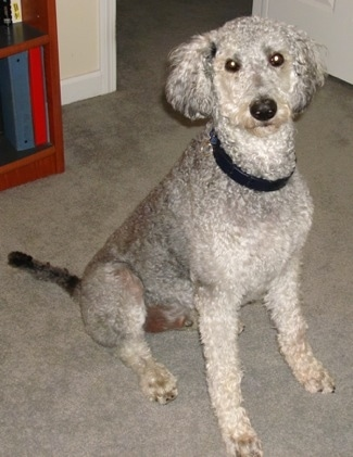 A tall, shaved, curly coated, grey and white Shepadoodle is sitting across a carpet, it is looking up and forward. It has wide round eyes and fluffy drop ears that hang down to the sides.