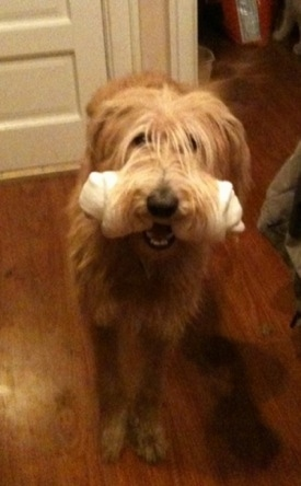 Front view - A tall, cream and red Shepadoodle dog is standing on a hardwood floor with a rawhide bone in its mouth and it is looking up. It has loner shaggy looking hair on its face that is hanging over its eyes. It has a black nose.