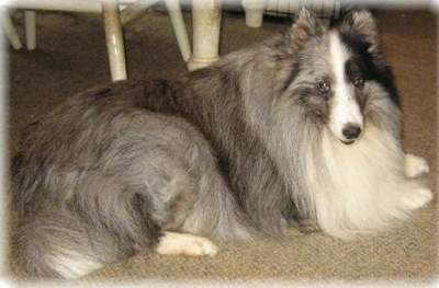 L-N-D'S DREAMS IN THE MIST CGC aka TURTLE, the bi-blue Sheltie at 4 years old.
