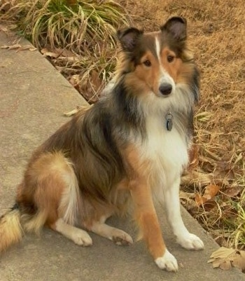 The right side of a black,tan and white Shetland Sheepdog that is sitting across a sidewalk and it is looking forward.