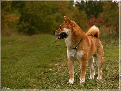 Front view - A brown with white Shiba Inu is standing in grass, it is looking to the left and it is panting. It has a thick coat and a fluffy tail that curls up over its back.