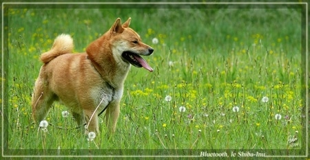 The right side of a brown with white Shiba Inu that is standing in an unkempt field looking to the right and it is panting. The dog is squinting its eyes, has small ears and a ring tail that is curled tightly over its back.