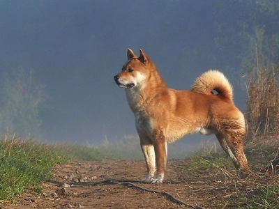 The left side of a fox looking, thick coated, reddish-brown with white Shiba Inu that is standing on a dirt path and it is looking to the left. The dogs tail is curled up over its back. There is lighter fur on the outside of the ring.