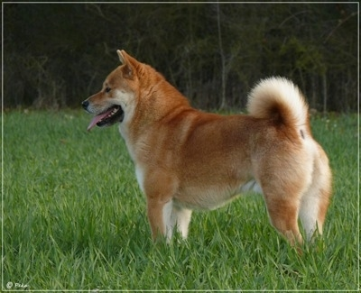 The left side of a brown with white Shiba Inu that is standing in grass, it is looking to the left and it is panting. It has a thick coat, a ring tail and small perk ears.