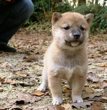 Close up front view - A tan Shiba Inu puppy is standing on a dirt path that is covered in leaves. It has a thick coat and small perk ears with small squinty eyes.