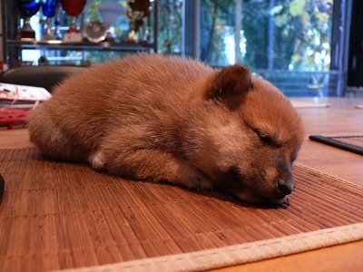 Close up - A fuzzy tan Shiba Inu puppy is sleeping on a bamboo mat that is on a table in a house.