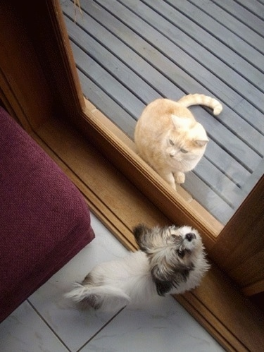 Top down view of a small white with tan and black ShiChi puppy that is sitting in a room in front of a closed door. It is looking up at the door handle. There is an orange cat sitting on the opposite side of the door on a brown wooden deck.