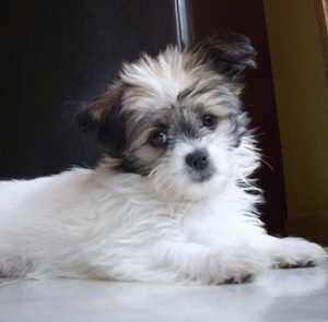 The front right side of a fluffy white with black and tan ShiChi puppy that is laying across a tiled floor. It is looking forward and its head is slightly tilted to the left.