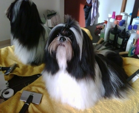A well-groomed, long coated, black and white Shih-Tzu is standing on a yellow towel, it is looking up and to the left. There is a mirror and a lot of grooming supplies behind it.