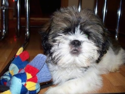Close up front view - A fuzzy faced black and white Shih-Tzu is laying across a hardwood floor, it is looking forward and there is a mitten to the left of it.