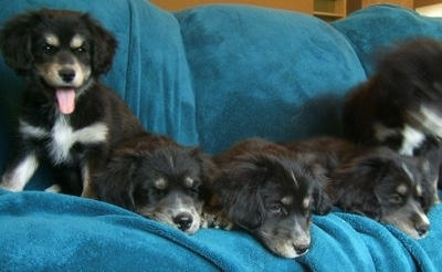 A litter of thick coated Siberian Cocker puppies all lined up sitting and laying on a blanket. The left most puppy is looking forward, its mouth is open and its tongue is out.