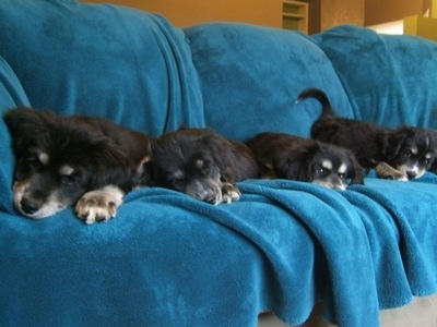 A litter of Siberian Cocker puppies are laying down on a blanket draped over a couch. Two of the dogs are sleeping and two are laying down with their eyes open. The end pup is in a laying down play bow pose.