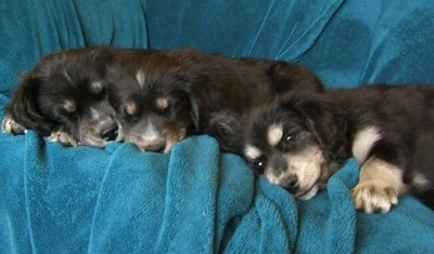 A litter of Siberian Cocker puppies are laying down on a teal-blue blanket placed over a couch. Two of the puppies are sleeping and one is looking forward.