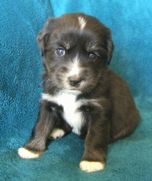 Close up - A small, young black with tan and white Siberian Cocker puppy is sitting across a teal-blue blanket and it is looking forward. The dog has dark eyes.