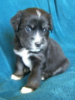 Close up - The left side of a black with tan and white Siberian Cocker puppy is sitting across a couch and it is looking to the right. The pup has dark brown eyes.