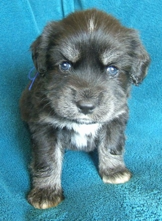 Front view - A young black with white Siberian Cocker puppy is sitting on a teal-blue blanket and it is looking up. Its eyes are blue.