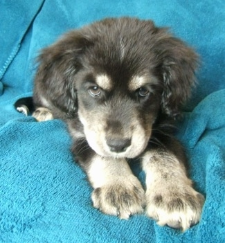 Close up front view - A black with grey and white Siberian Cocker puppy is laying on a couch and it is looking forward. It has a lot of fluffy fur on its ears and brown eyes.