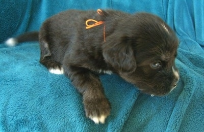 The front left side of a black with tan and white Siberian Cocker puppy that is standing at the edge of a couch with a teal-blue blanket draped over it. It is looking to the right. The puppy has an orange string tied around its neck.