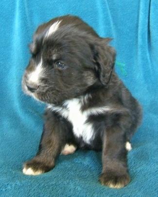 A young black with white and tan Siberian Cocker puppy is sitting on a teal-blue blanket draped over a couch and it is looking to the left.