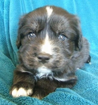 Close up front view - A black with white and tan Siberian Cocker puppy is laying across a blue blanket and it is looking forward. It has dark blue eyes.
