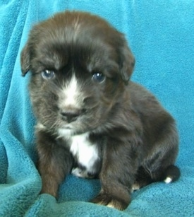 Close up - A black with tan and white Siberian Cocker puppy is sitting on a blue blanket, its head is slightly tilted and it is looking forward.