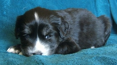 The right side of a black with tan and white Siberian Cocker puppy that is laying down on a blue blanket and it is looking forward. It has sleepy looking eyes.