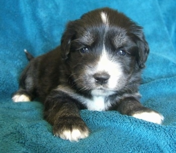 Close up front view - A young black with tan and white Siberian Cocker puppy is laying on a blanket that has been laid over a couch and it is looking forward.