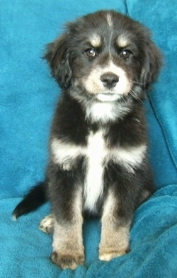 Front view - A fluffy black with tan and white Siberian Cocker puppy is sitting on a bright blue backdrop draped over a couch and it is looking forward.