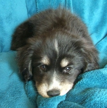 Close up front view - A furry black with tan and white Siberian Cocker puppy is laying on a bunched up area of a blue blanket that is draped over a couch.