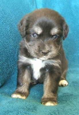 Front view - A young brown with tan and white Siberian Cocker puppy is sitting next to the arm of a couch with a blue blanket draped over it. The puppy is looking down. The pup looks like it has a serious look on its face.