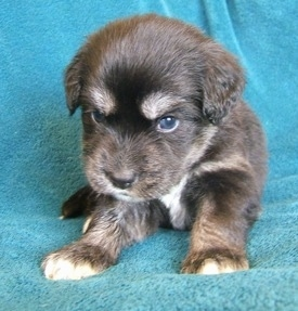 Front view - A young black with tan and white Siberian Cocker puppy is laying on a blue blanket and it is looking down. The pup has dark blue eyes.